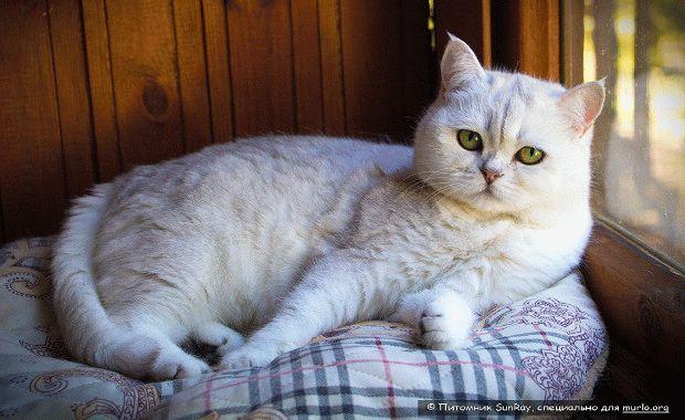 Породы кошек для квартиры - Британская короткошерстная