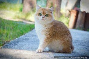 Британская кошка фото описание
