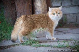 Британская порода кошек фото