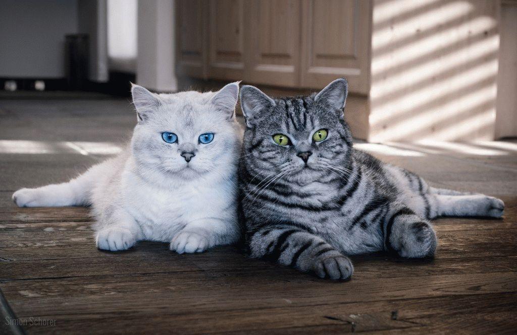 Британские короткошерстные характер кошек