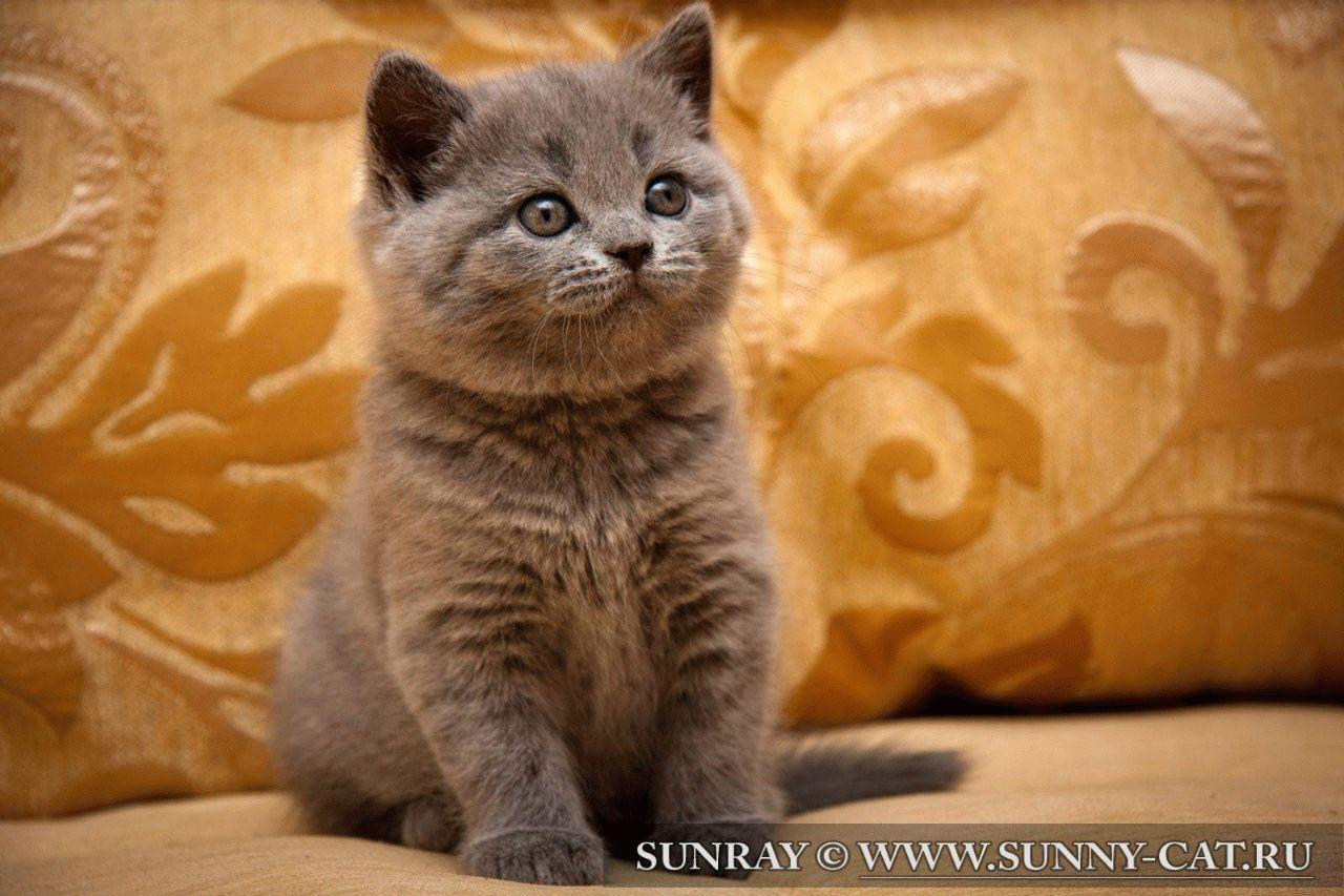 От блох для британского кота