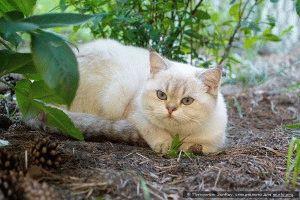 Британские кошки окрасы фото