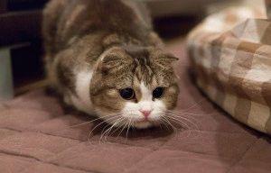 Вислоухая шотландская кошка фото