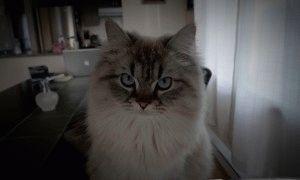 Гималайская кошка болезни