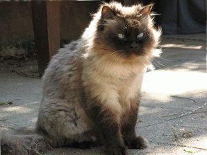 Гималайская кошка уход