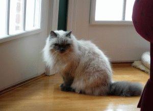 Гималайская кошка цена