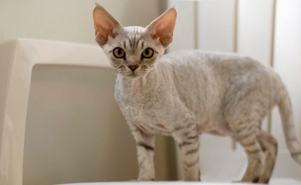 Породы кошек с большими ушами - Девон-рекс