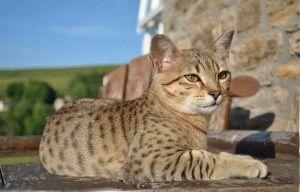 Египетская кошка мау фото