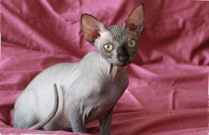 Канадский сфинкс кошка