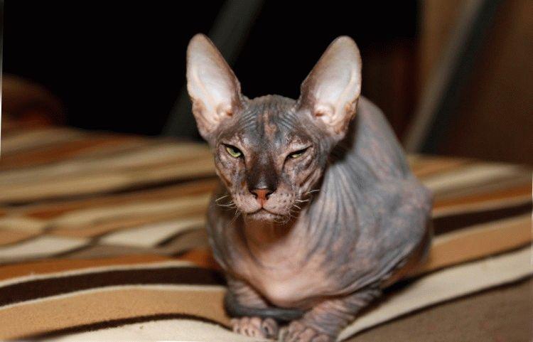 Породы кошек с большими ушами - Канадский сфинкс