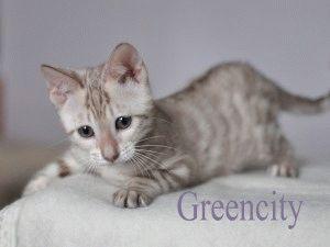 Котенок породы Тойгер фото