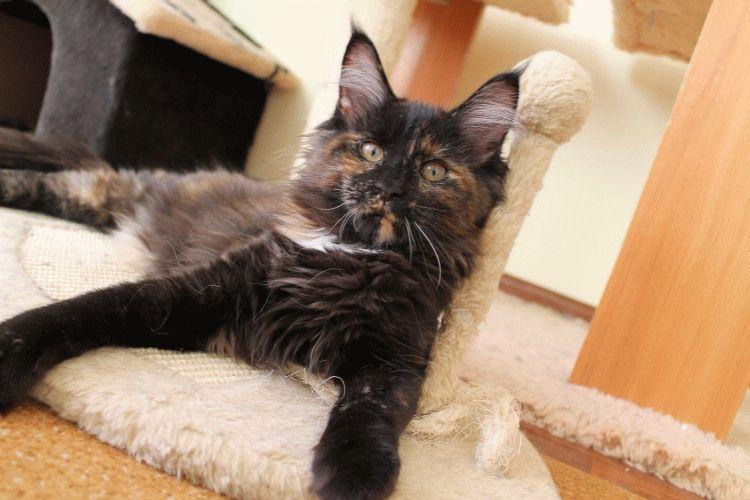 Коты породы Мейн кун фото