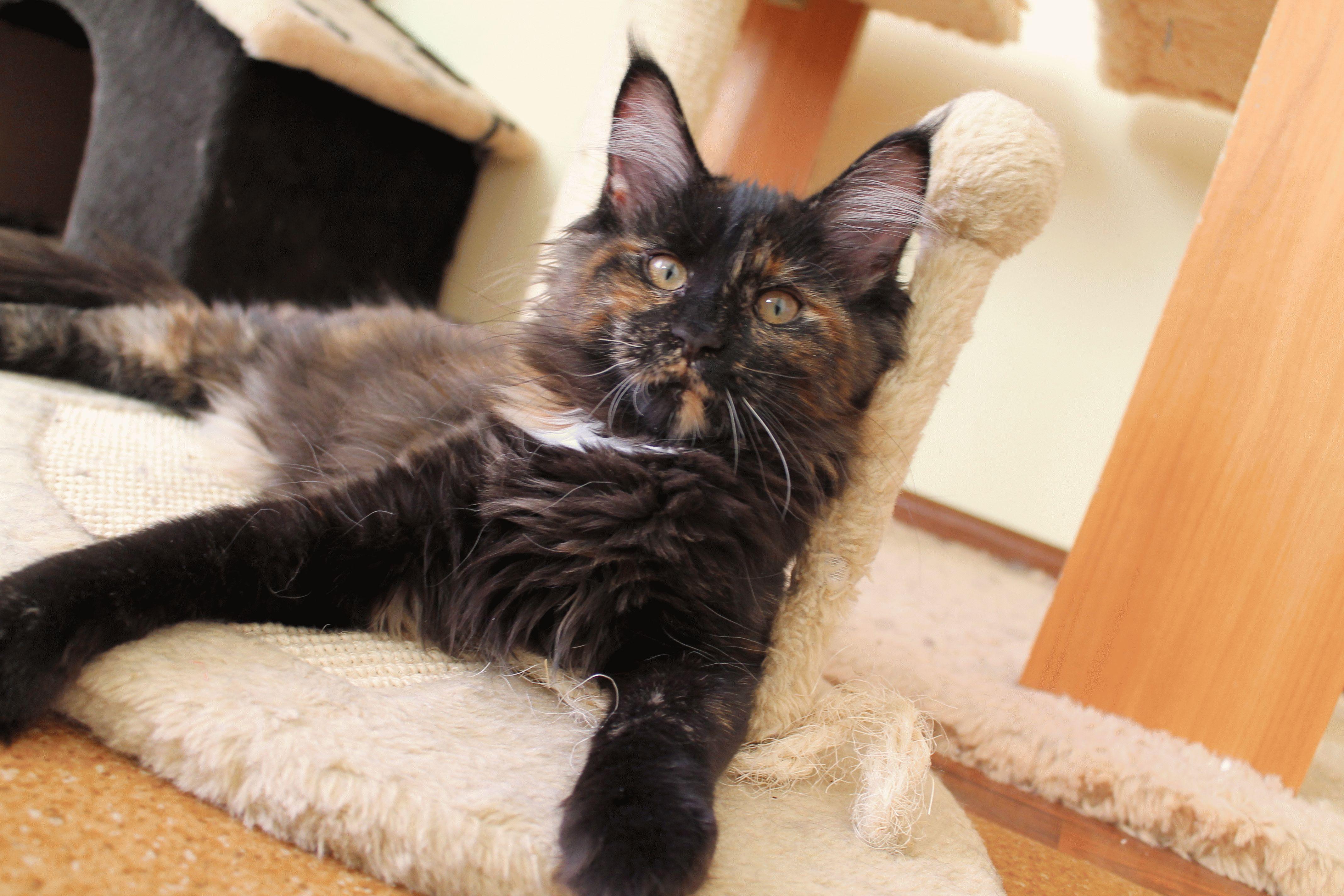 Коты мейн-кун видео