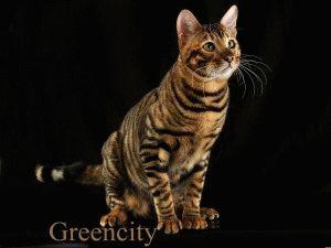 Коты тойгеры фото