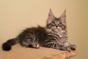 Котята Мейн кун фото