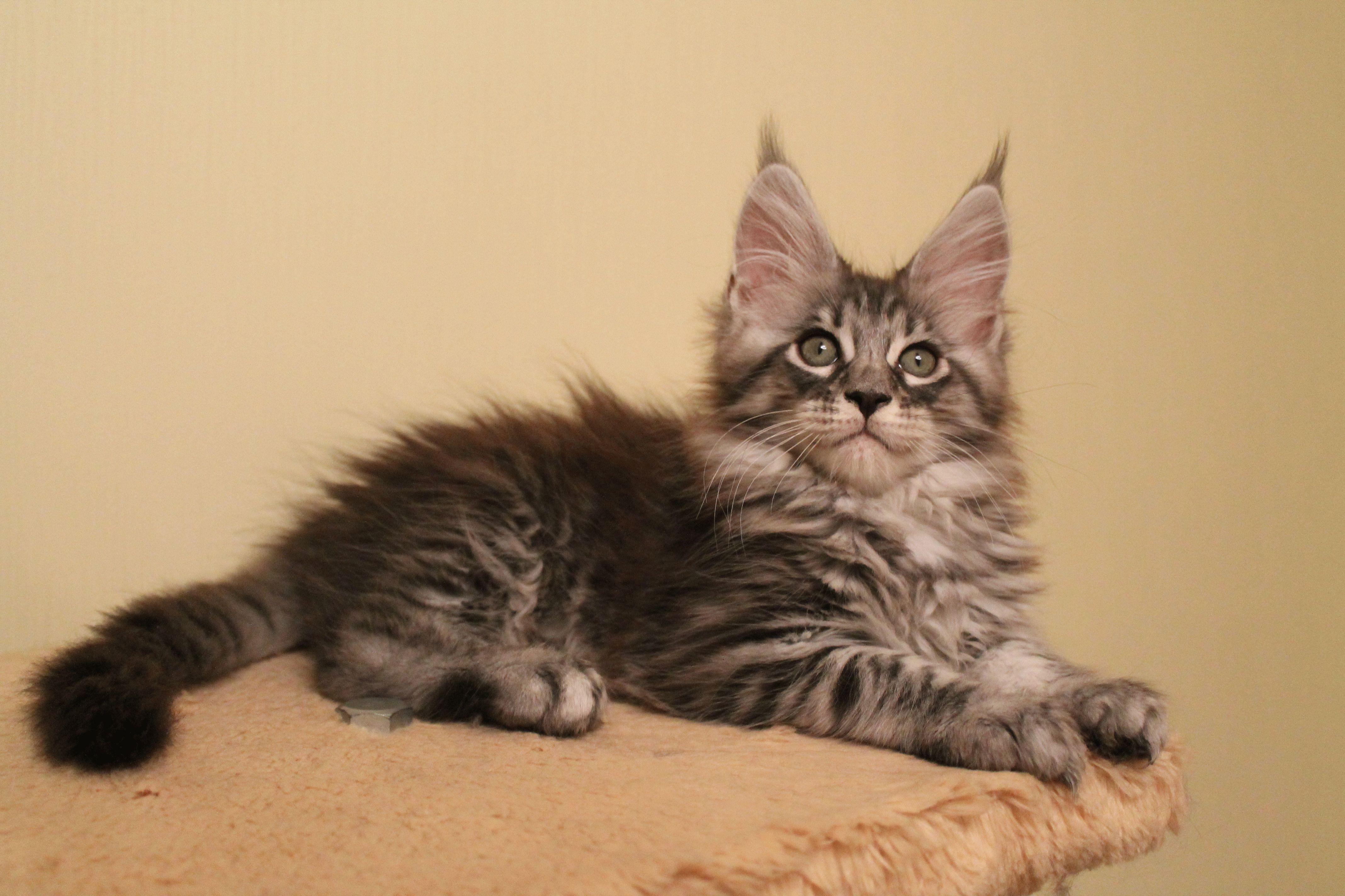 кошки фото породы мейн-кун