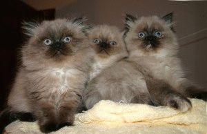 Котята гималайской кошки