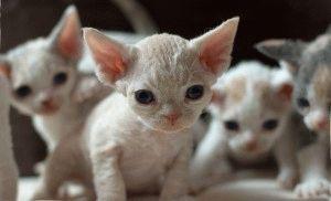 Котята девон рекс