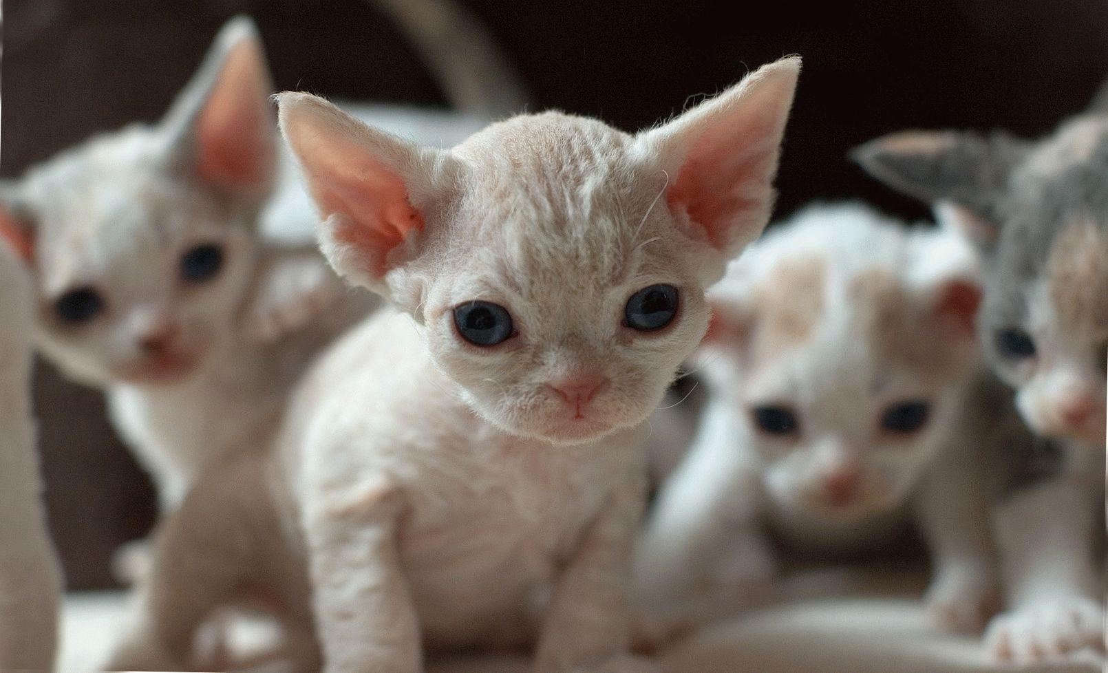девон рекс фото Девон-рекс.Фотографии породы кошек Девон-рекс. Характер.