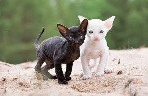 Котята корниш рекс