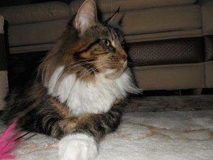 Кот породы Мейн кун