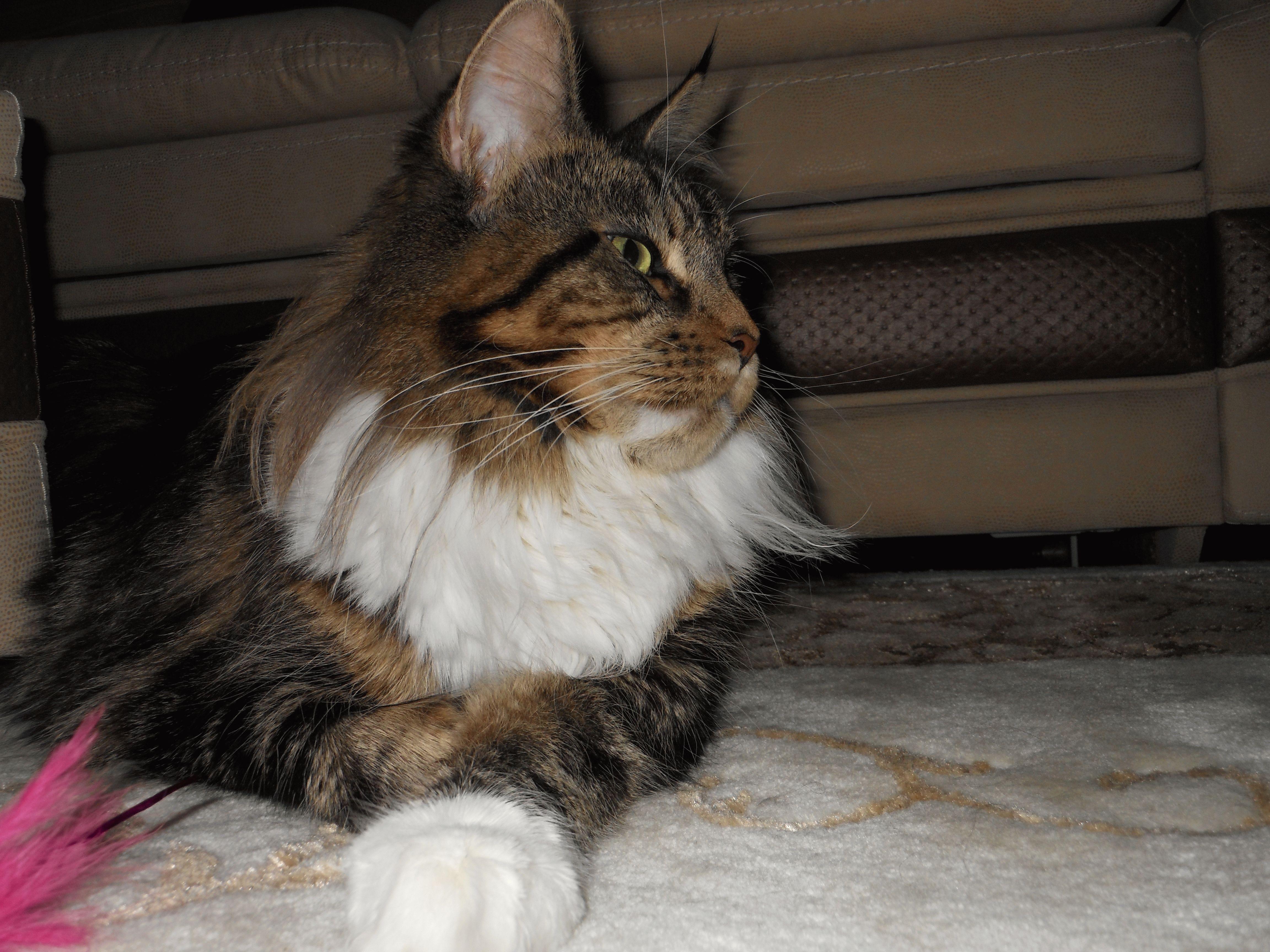 Коты порода мей кун
