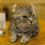 Кошка американский керл фото