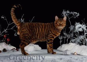 Кошка тойгер фото
