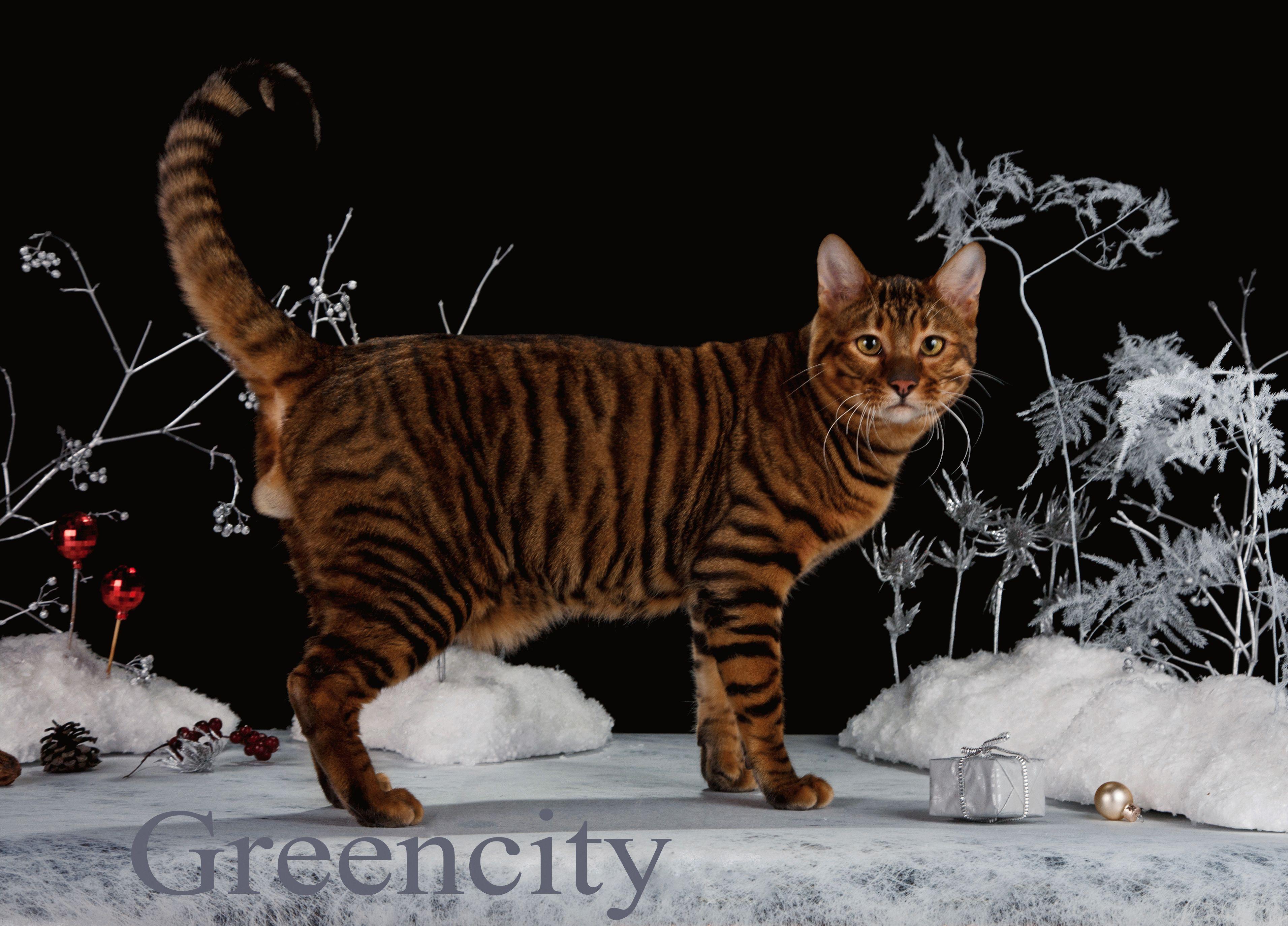 тайгер кот фото цена