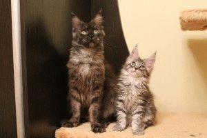 Кошки Мейн кун фото