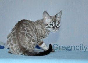 Кошки бенгальской породы фото