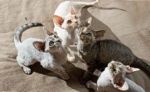 Кошки девон рекс фото