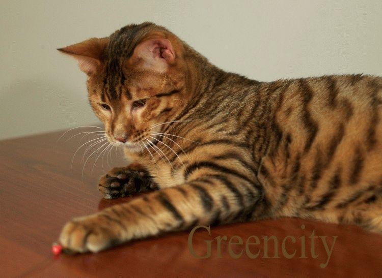 Кошки породы тойгер фото и цена