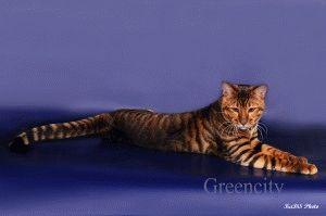 Кошки породы тойгер фото