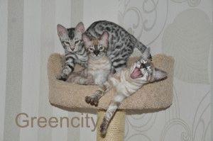 Купить бенгальские котята