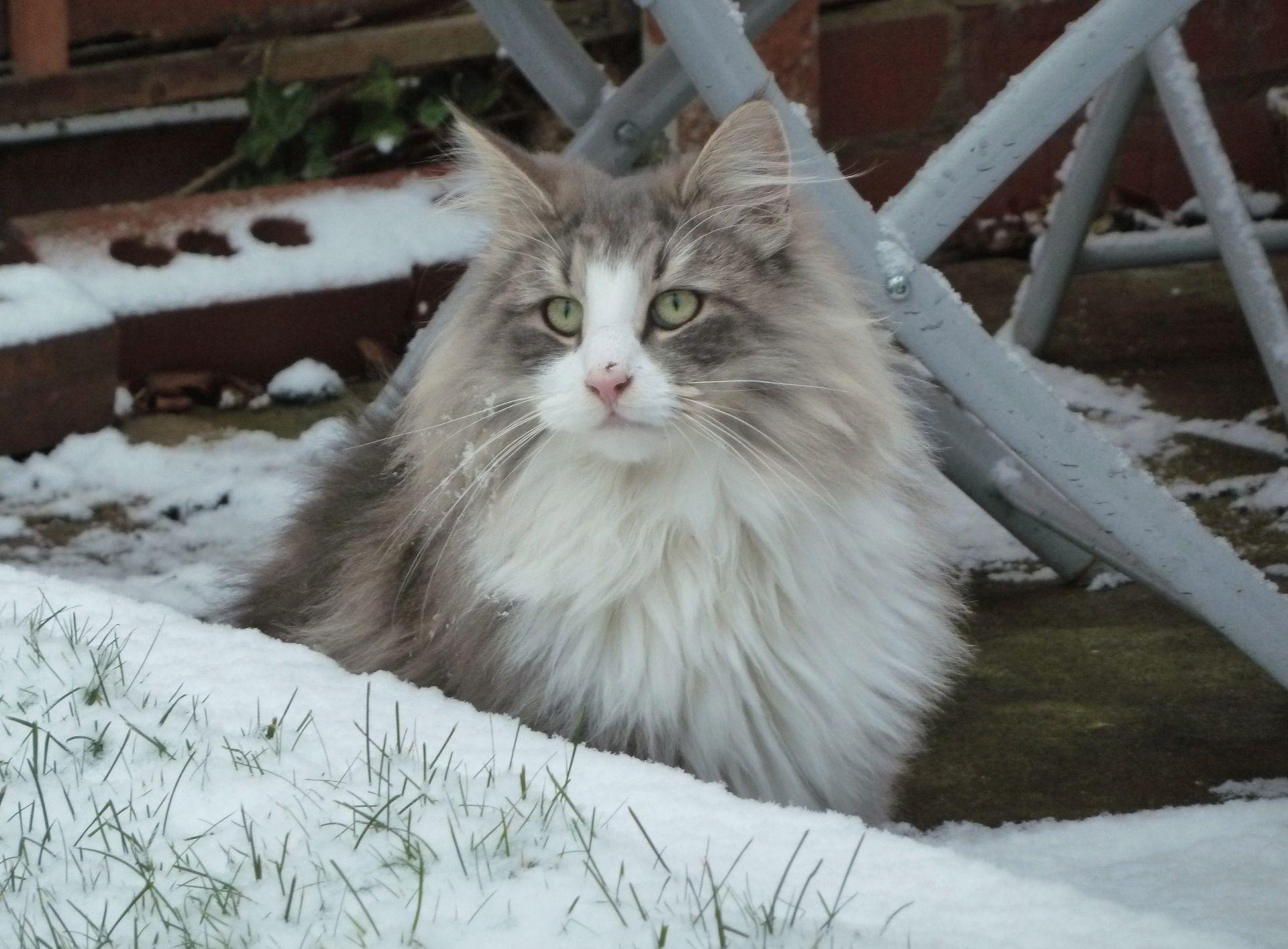 норвежская лесная кошка отзывы