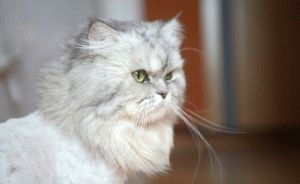 Персидская-кошка