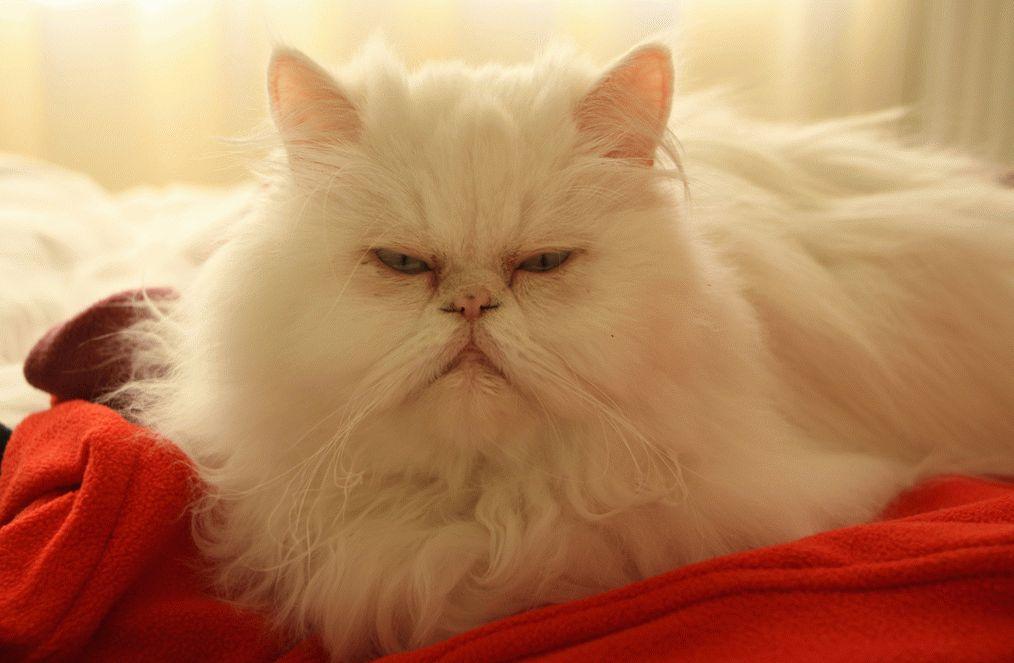 фото коты персидские