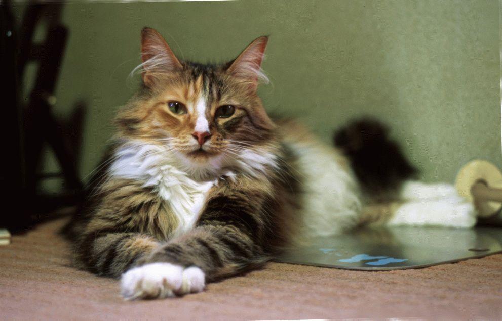 порода котов фото норвежская