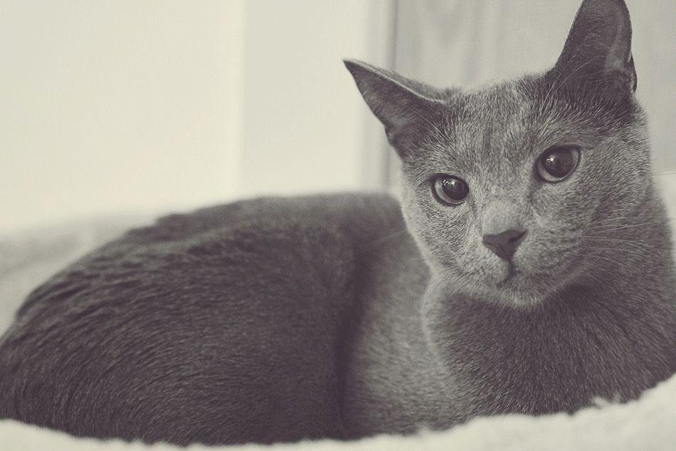 Фото кота породы русский голубой