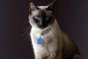 Сиамская кошка фото 2