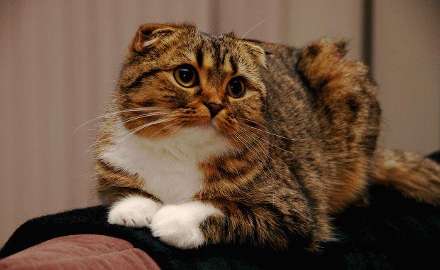 Отзывы о котах шотландская вислоухая