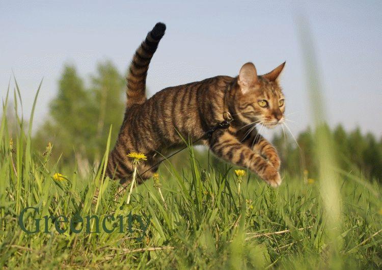 Тойгер кошки фото цена