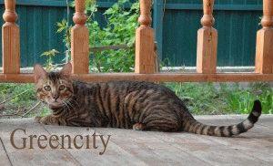 Тойгер кошки фото