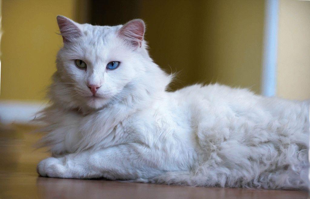 Породы кошек с большими ушами - турецкая ангора