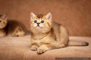 Фото британских кошек и котят