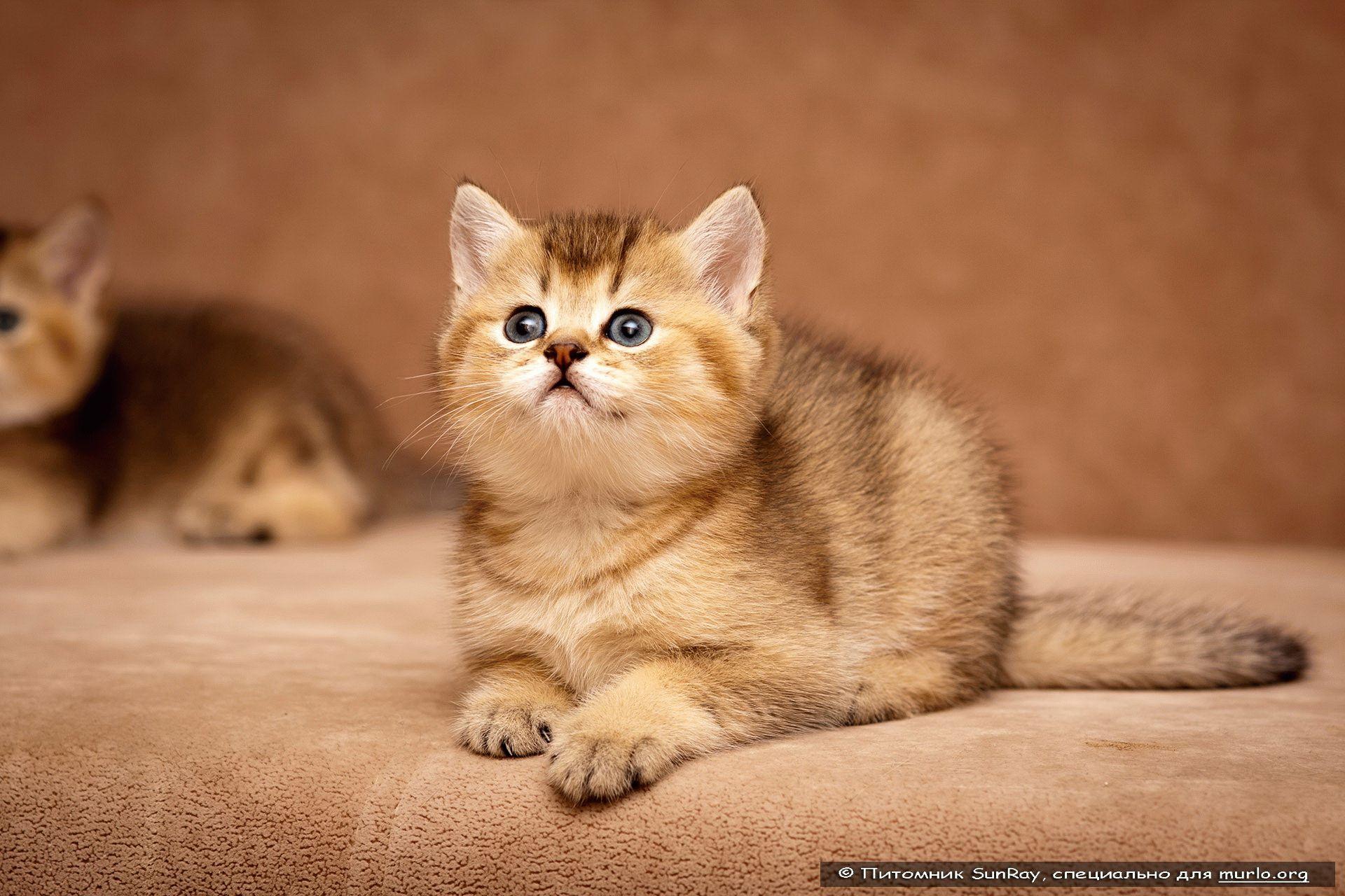 британских кошек и котят