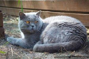 Фото британской кошки голубого окраса