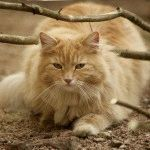 Фото норвежской лесной кошки