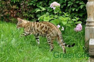 Характер бенгальских кошек